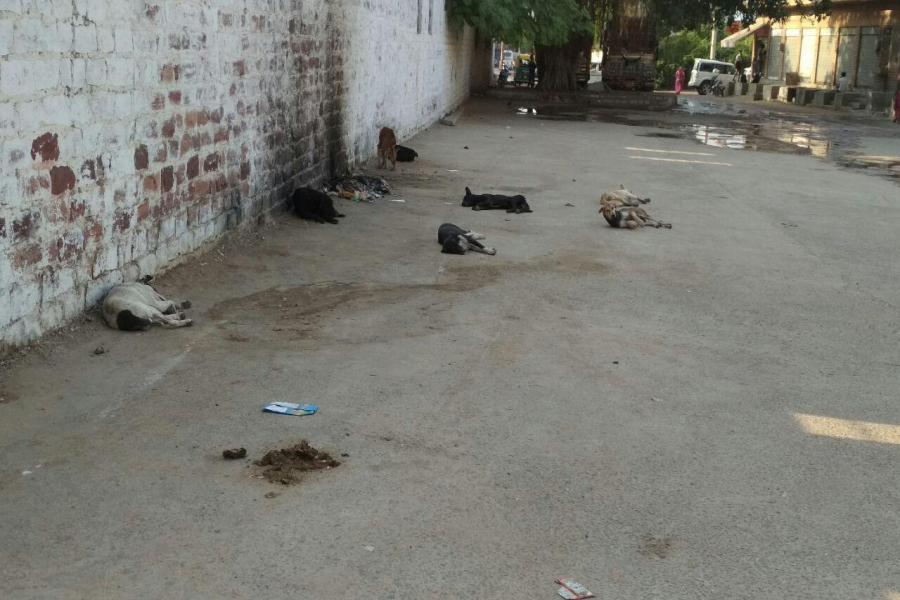 जोधपुर में पग-पग पर श्वान, हर रोज 20-30 जनों को काट खा रहे