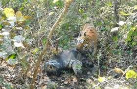 कान्हा में शिकार के बाद खा रहे बाघों का शव