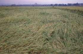 बेमौसम बारिश से खेतों में बिछ गई बालियां, किसानों की बढ़ गई मुश्किलें
