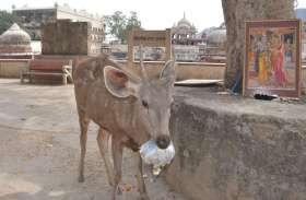 जंगल की जगह अलवर शहर में घूमते है वन्य जीव,देखे तस्वीरें
