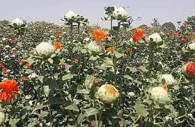 हाड़ौती के इन किसानों ने ठानी तो बिहड़ में उगा दी केसर की क्यारी...बूंदी के इन किसानों ने मनवाया कश्मीरियों से लोहा