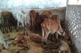 गौशाला बना अन्ना जानवरों का कब्रगाह, एक महीने में 50 से ज्यादा पशुओं की हुई मौत