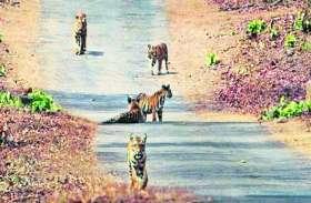रानीपुर अभ्यारण्य में पन्ना के पांच बाघों का डेरा, बाघों के पदचिह्न मिले