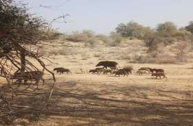 फसलों में नुकसान पहुंचा रहे सूअरों के झुंड