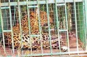 कुत्ते के फेर में पिंजरे में फंसी मादा तेंदुआ