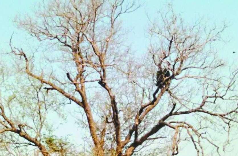 थम गई सांसें जब इमली के पेड़ पर चढ़ा मिला भालू