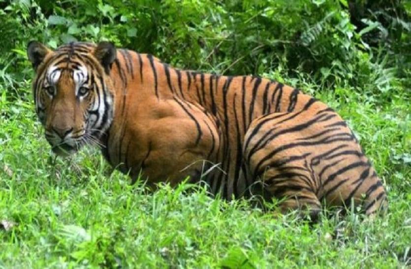 इस बाघ ने किया था शिकार , वन विभाग की टीम नहीं कर पाई ट्रेंकुलाईज