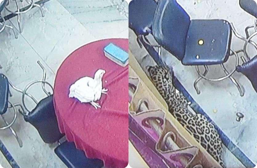 अलवर शहर में 19 दिन बाद आए पैंथर ने 8 घंटे कराई मशक्कत, कमरे में छोड़ा गया मुर्गा, फिर इस तरह किया गया रेस्क्यू