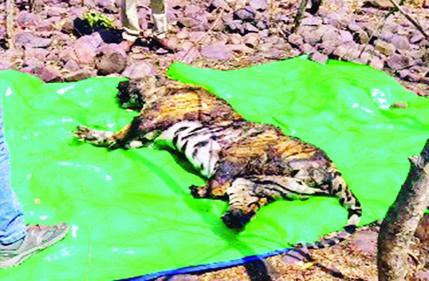 बाघ के पंजे, पूंछ-मूंछ और दांत काट ले गए तस्कर, पांच दिन तक वन अमला रहा बेखबर