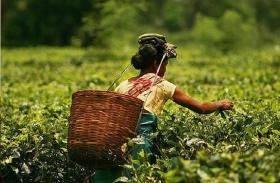 इलेक्शन स्पेशल...डिब्रुगढ़ में चाय जनगोष्ठी के मतदाता होंगे निर्णायक, कांग्रेस व भाजपा में कड़ा मुकाबला
