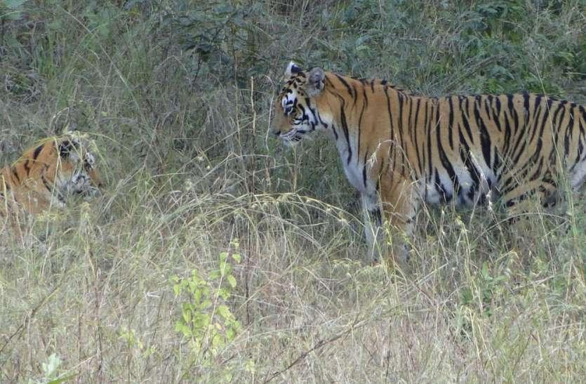 पन्ना टाइगर रिजर्व में 16 अप्रेल को मनाया जाएगा बाघ का जन्मदिन, तैयारियों में जुटा प्रबंधन