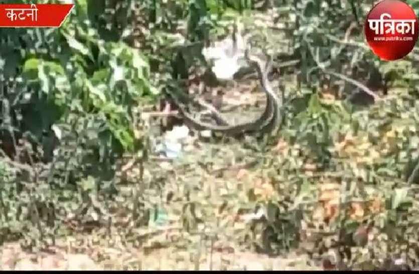 Video: क्या कहेंगे इसे, यह जहरीले सांपों का प्रणय था या भयंकर युद्घ, कुछ इस अंदाज में ग्रामीणों ने फिल्माया