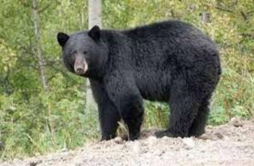 घर से निकली महिला पर रास्ते में भालू ने किया जानलेवा हमला, हालत गंभीर