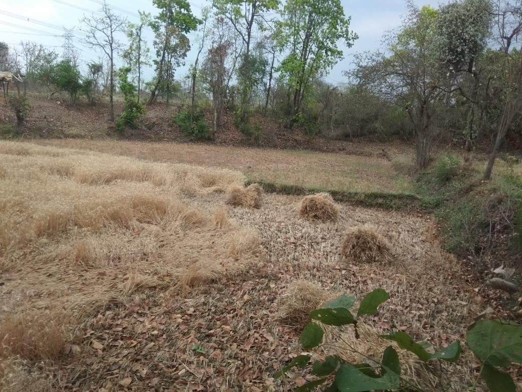 माहभर बाद भी किसान क्यों नहीं पहुंच रहे जिले के उपार्जन केन्द्र, समितियों पर पसरी है वीरानी