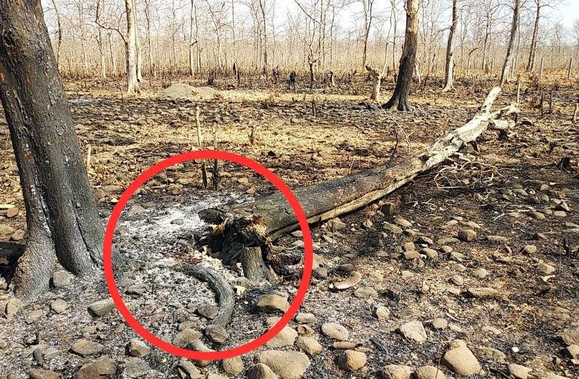 VIDEO जंगलों में हो रही पेड़ों की कटाई, वन अमला नींद में