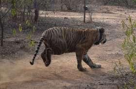 सरिस्का के नए राजा का स्वागत, तस्वीरों में देखिए कैसे सरिस्का में बाघ ने ली एंट्री