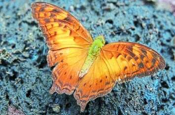 छत्तीसगढ़ में मिली ये दुर्लभ तितली, रिसर्चर ने कहा- बस्तर का हिमालयन वैली से हो सकता है लिंक