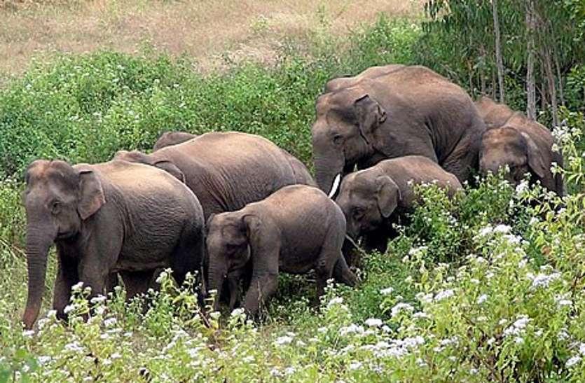 जाजागढ़ गांव के समीप पहुंचा 40 से ज्यादा हाथियों का समूह