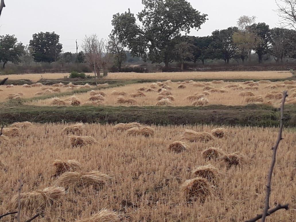 आंधी और बारिश की थपेड़ों में हजारो एकड़ रबी फसल नुकसान, किसानों की बढ़ी मुश्किलें
