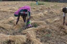 बची खुची फसलों को बचाने की मशक्कत, दूसरे दिन फसलें समेटने में जुटे रहे किसान