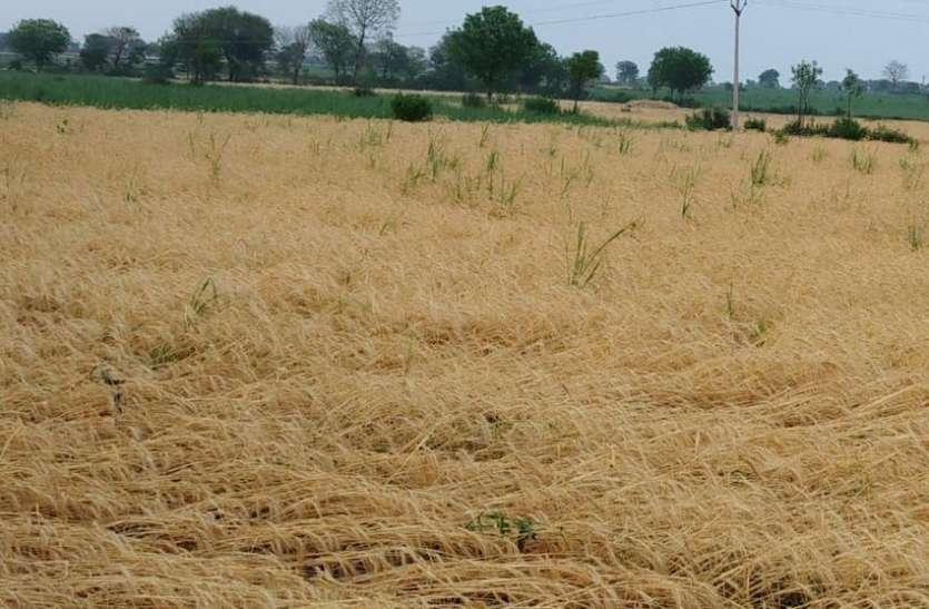 खेतों में रखी फसल भीगी, खड़ी फसल गिर गई