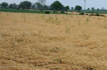 तेजगर्जना के साथ बारिश, खेतों में खड़ी व खलिहानों में रखी फसल बर्बाद, किसानों की मेहनत पर फिरा पानी