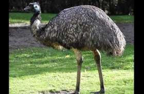 BIG News: कोटा में आया दुनिया का दूसरा सबसे बड़ा पक्षी, जानिए, 6 फीट ऊंचे 'ऐमू' की ताकत