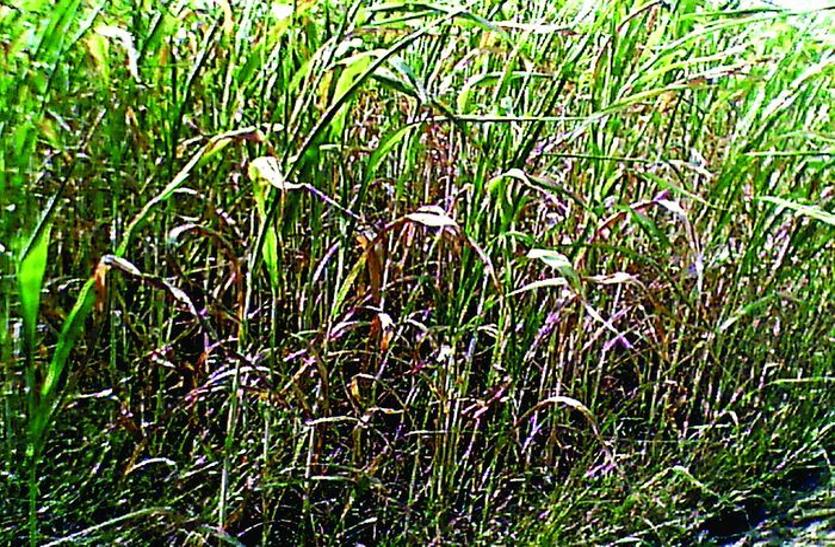 नहर का पानी नहीं पहुंंचा रहा खेतों तक, सौ एकड़ की फसल हुई बर्बाद