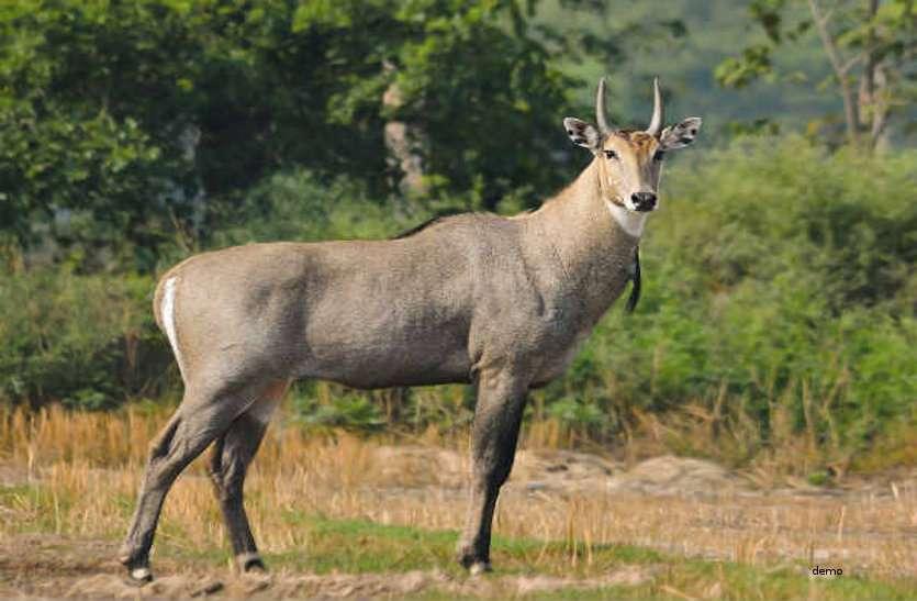 बारनवापारा के परिक्षेत्र में मिली नीलगाय की लाश, हिंशक पशु ने किया शिकार