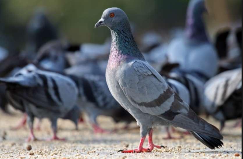 कबूतरों को दाना डाल रहे हैं तो हो जाइए सतर्क, जोधपुर के भीतरी क्षेत्रों के लोगों पर मंडरा रही है ये गंभीर बीमारी