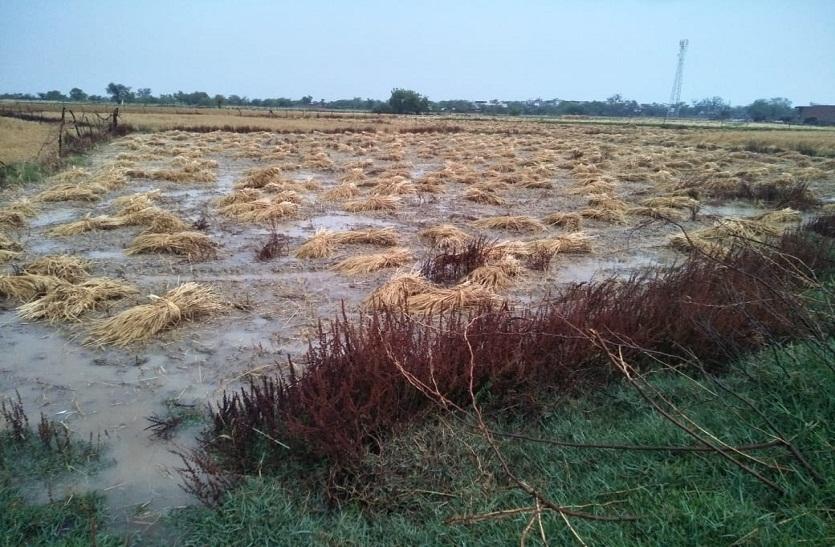 बारिश से बेबस किसान, गेहूं को 40 फीसदी नुकसान