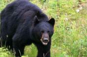लोहरदगा में जंगली भालू का आतंक, हमले में एक ग्रामीण की मौत, आधा दर्जन घायल