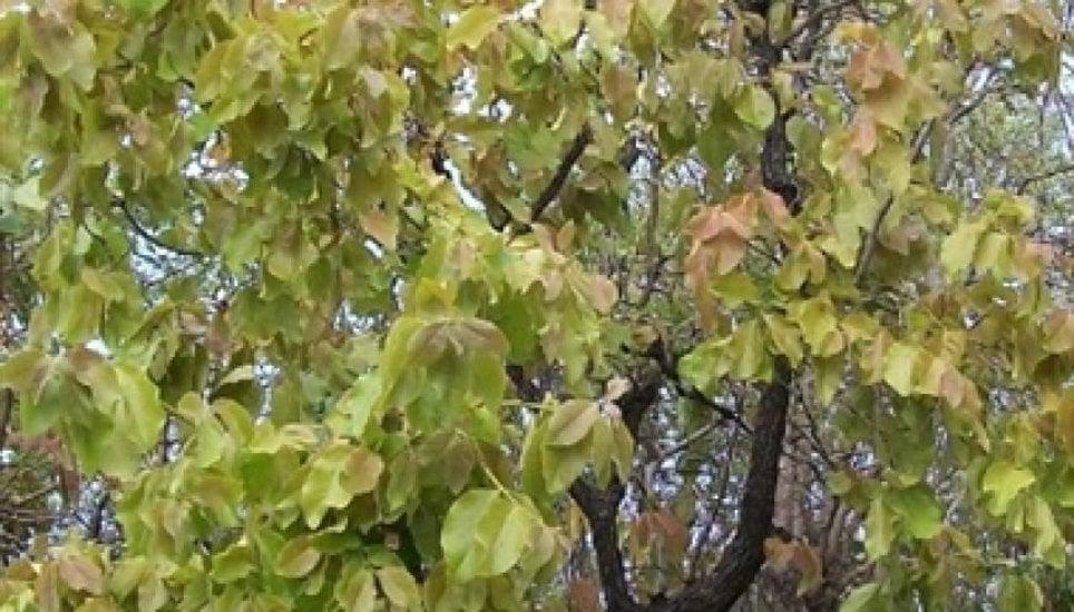 बारिश के चलते तेंदूपत्ता खराब होने की आशंका, घट सकता है संग्रहण