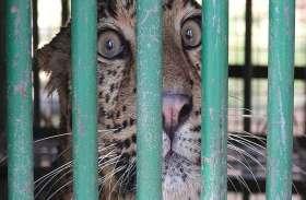 PICS : नर के बाद अब मादा तेंदुआ पिंजरे में कैद