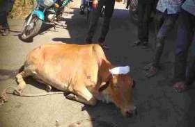 डम्पर ने गाय को लिया चपेट में