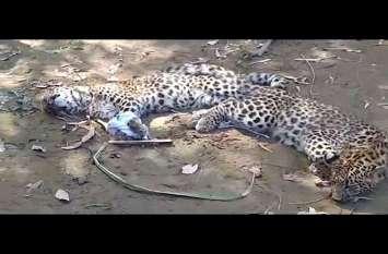 VIDEO: जब वन विभाग नहीं पहुंचा तो ग्रामीणों ने खुद ही तेंदुए के दो शावक पकड़े
