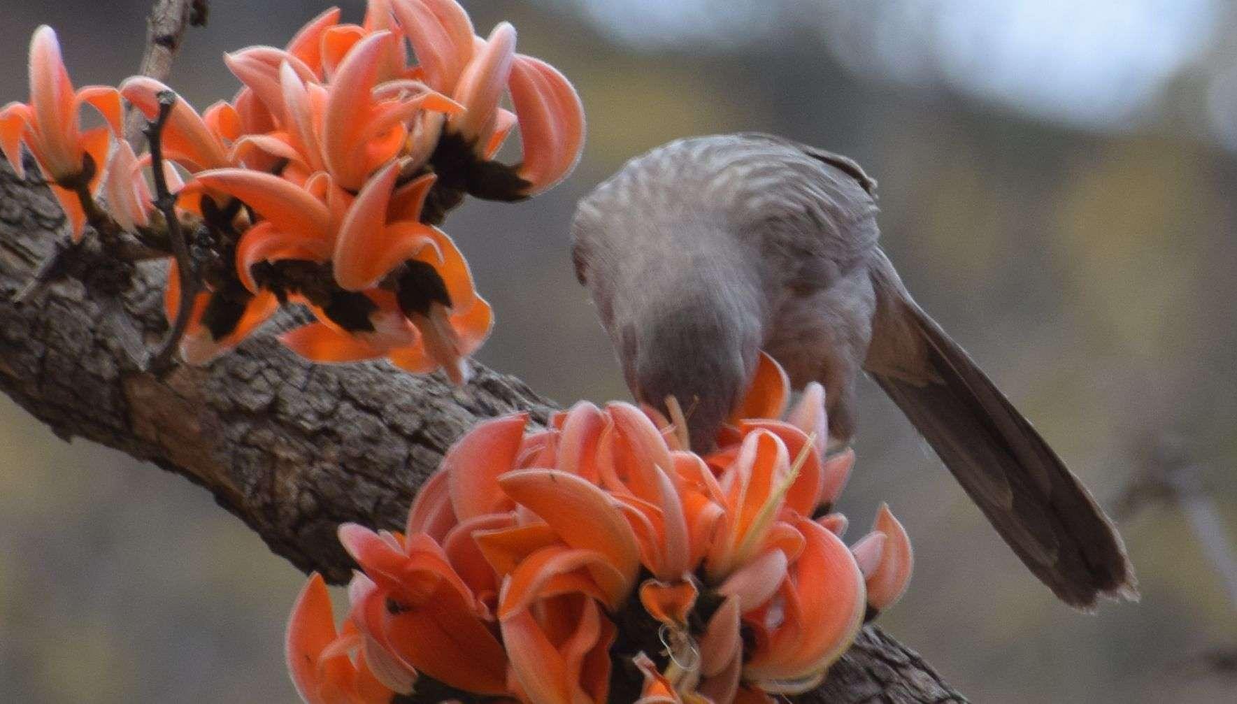 Palash Flowers In Alwar - अलवर में खिल रहे पलाश के फूल, लग ... Palash Flower In Hindi