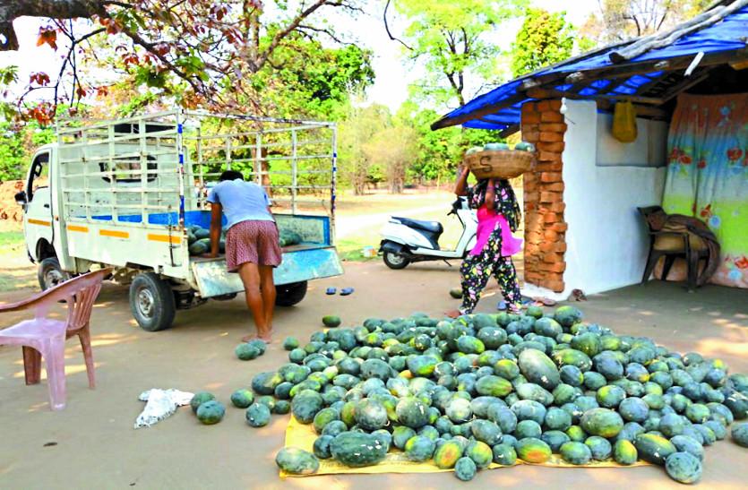 पहली बार आदिवासी किसानों के खेतों में लहलहा रहे तरबूज, अच्छी फसल की उम्मीद