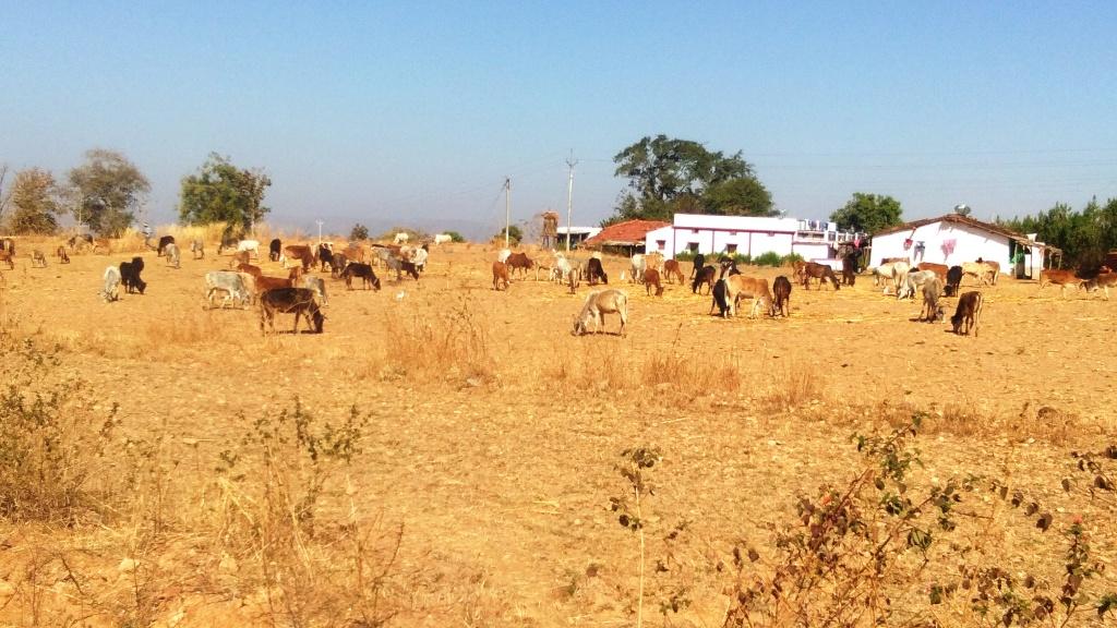 गर्मी चरम पर, पशुओं के सामने चारा-पानी का संकट