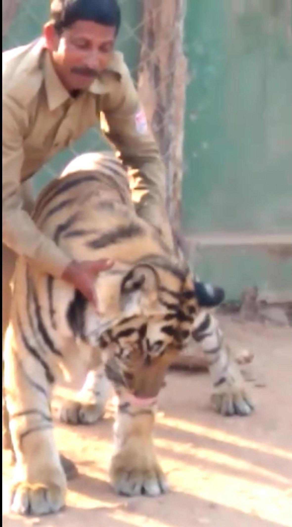 बेटे की तरह नर बाघ का लालन-पालन कर रहे मामू