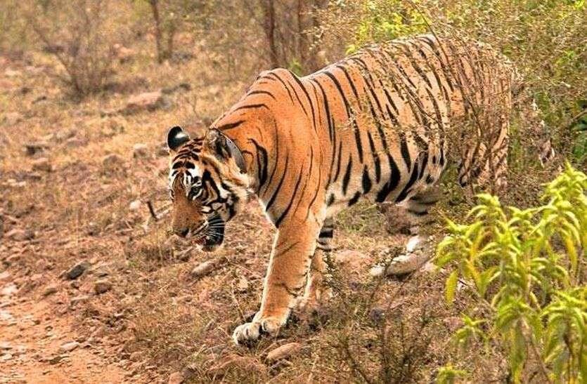 48 घंटे में तीन जगह दिखे बाघ, अलर्ट जारी