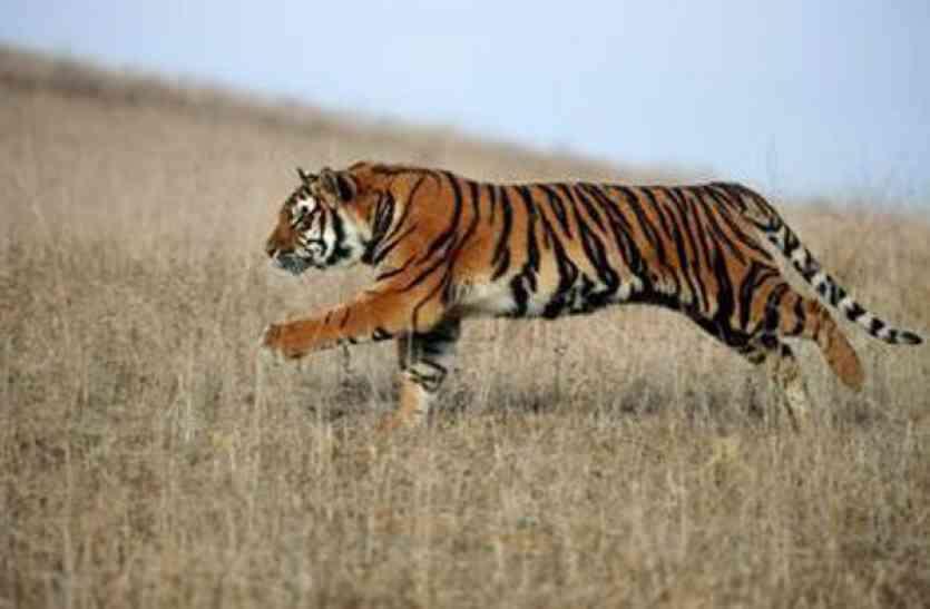 पीलीभीत में बाघ ने किया किसानों पर हमला,दो घायल