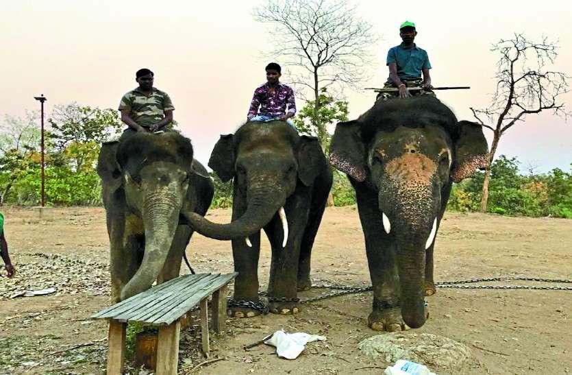 गजराज अभियान लड़खड़ाया, बिना कुमकी हाथियों के जंगली दंतैलों को पहनाना पड़ रहा रेडियो कॉलर