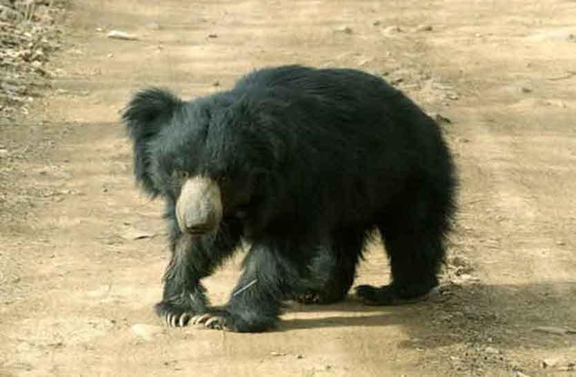 वनोपज संग्रहण करते समय भालू ने किया के हमला,  ग्रामीण घायल