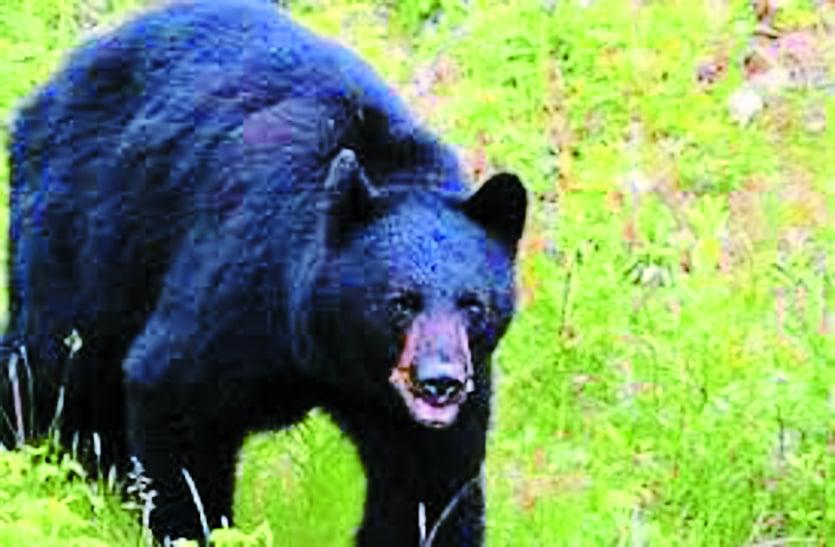 रोने के आवाज सुनकर पहुंचे थे ग्रामीण अचानक पीछे से भालू ने कर दिया हमला, दो की मौत दो घायल