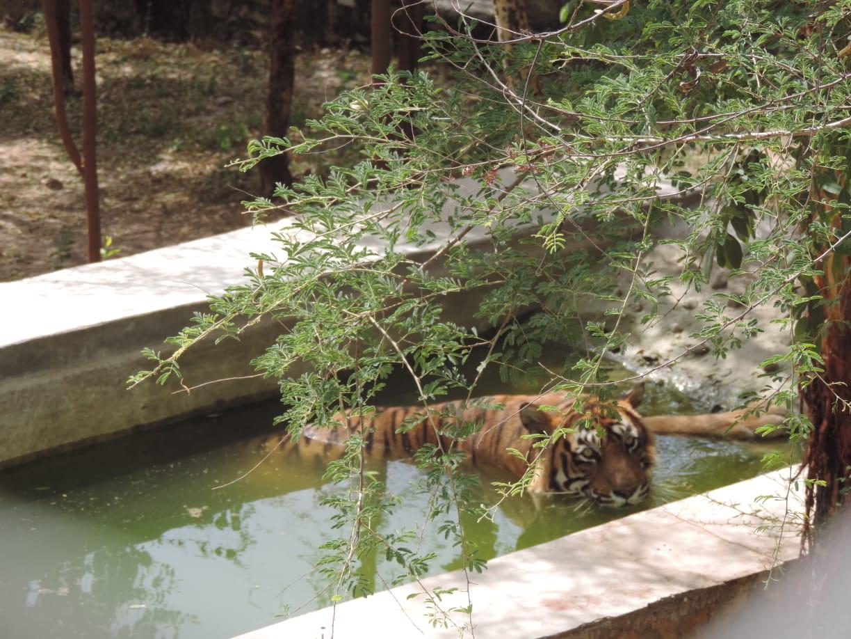 तस्वीरों में देखे...टाइगर टी-24 की अठखेलियां