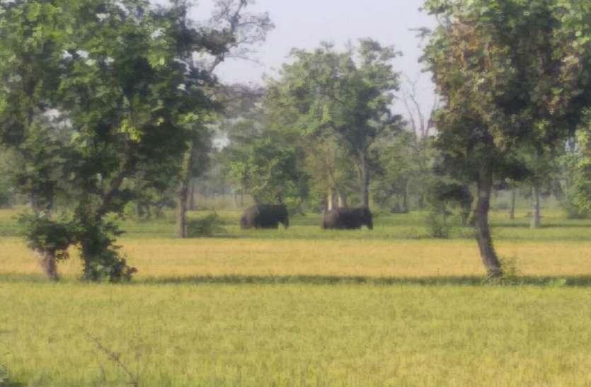 गांव के नजदीक पहुंचे दो जंगली हाथियों के उत्पात से दहशत में ग्रामीण, फसलों को पहुंचाया नुकसान