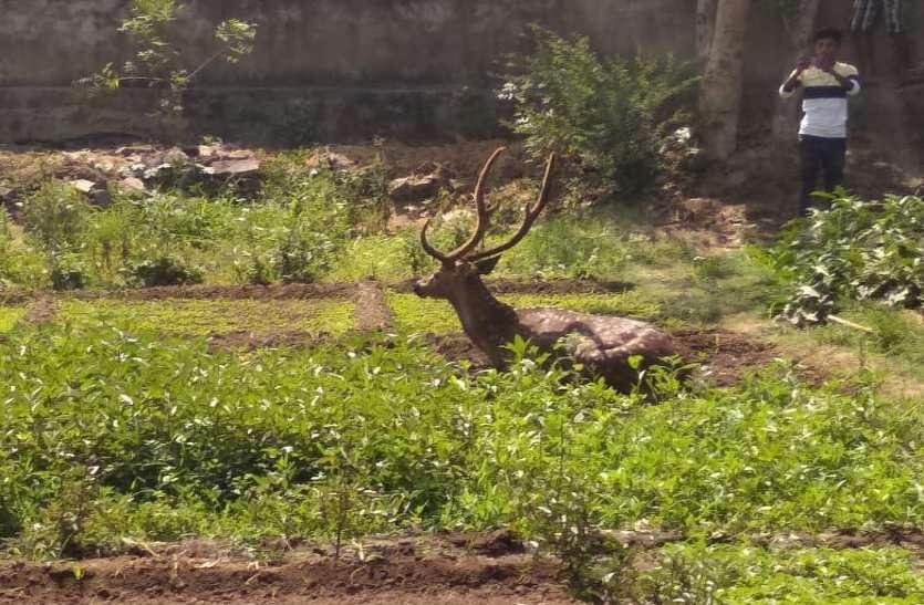 जब पानी के लिए भटकते हुए तीन हिरण पहुंचे तुमगांव, फिर लोगों ने किया...