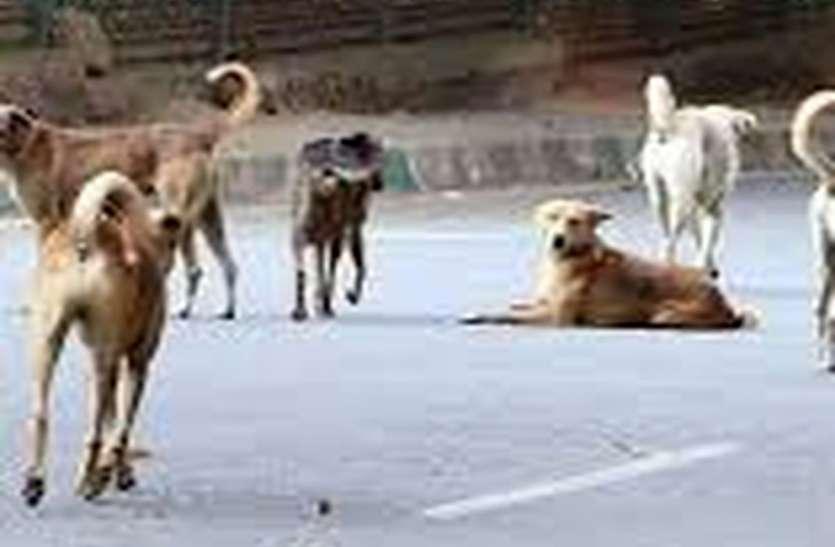 निगम की उदासीनता : बीकानेर में हर रोज नौ लोगों को काट रहे कुत्ते