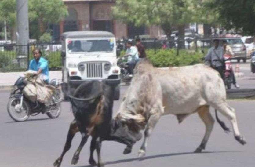 बीकानेर शहर में  गोधे पकडऩे का काम हुआ बंद, आमजन परेशान